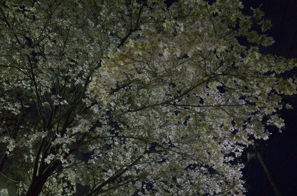 夜のハナミズキ