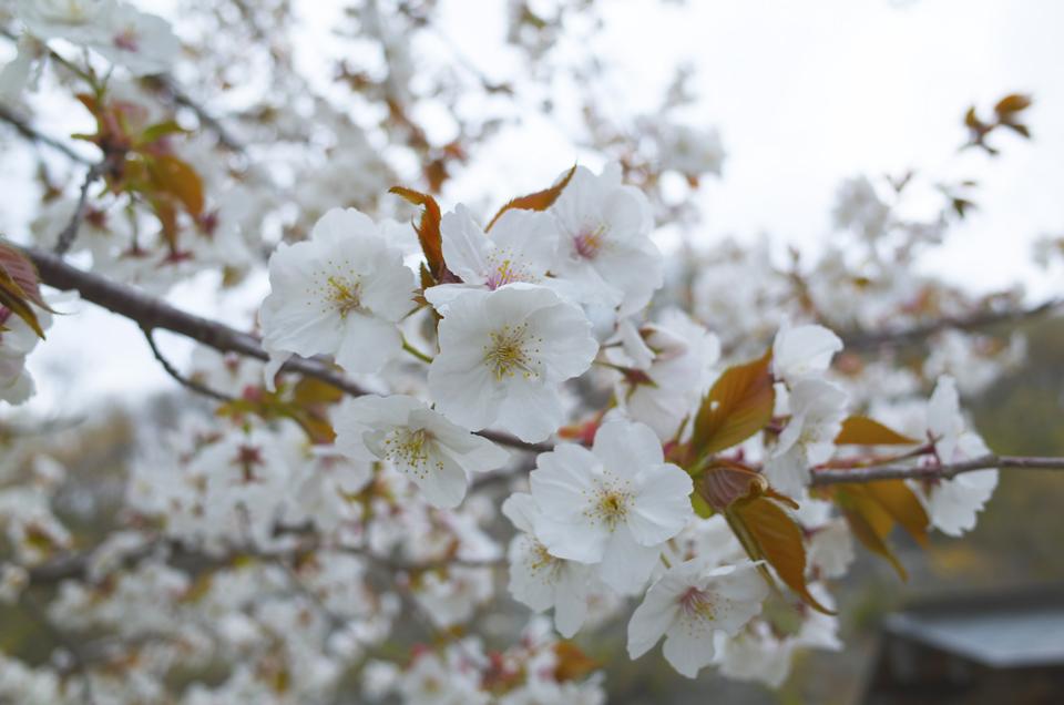 荒川ダム 桜