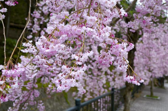 身延山久遠寺周辺の桜