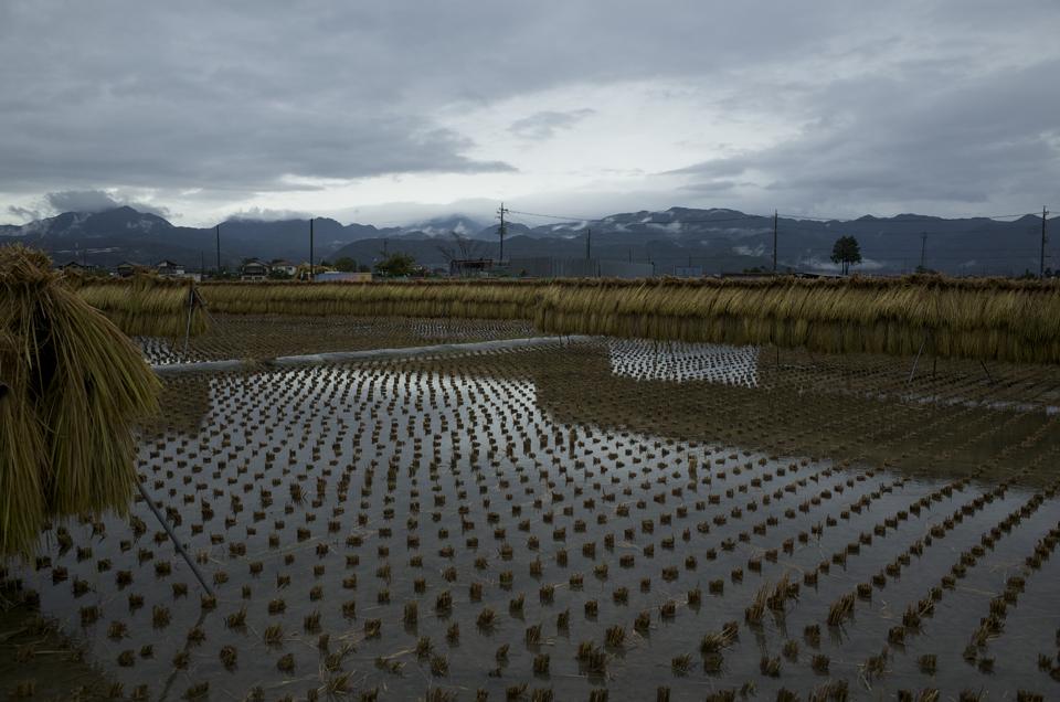 台風の後の田んぼ