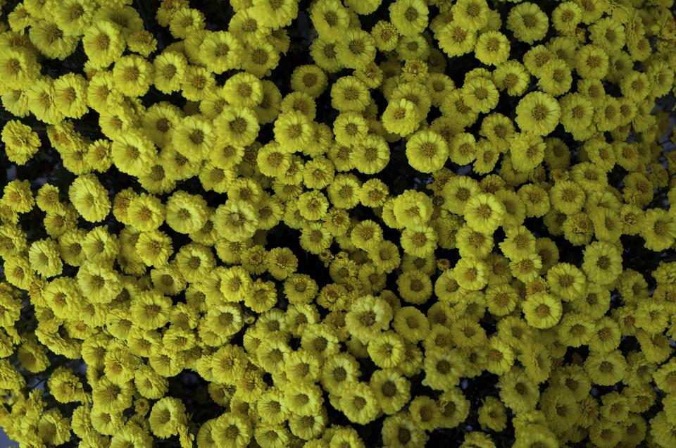 びっしりと埋め尽くされた黄色い花