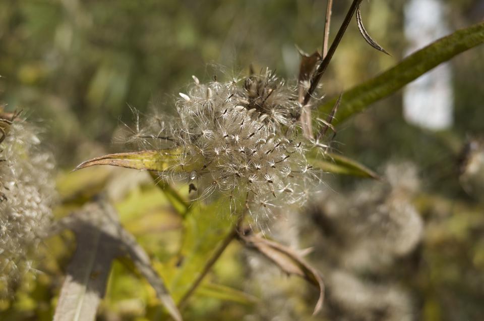 綿毛の植物