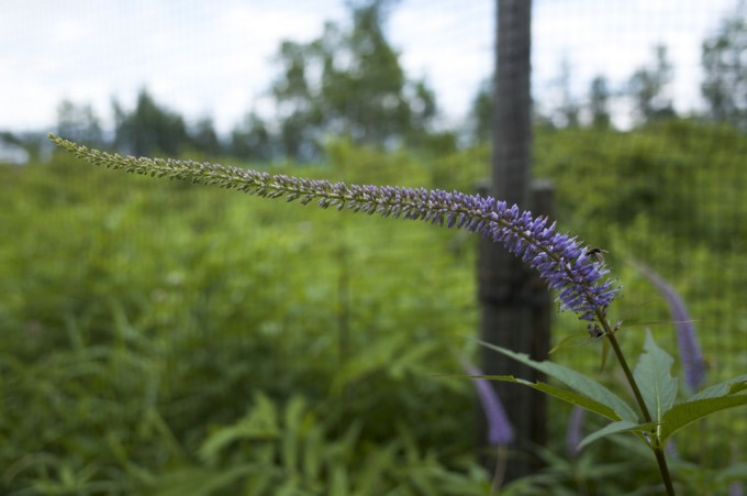 紫の高山植物