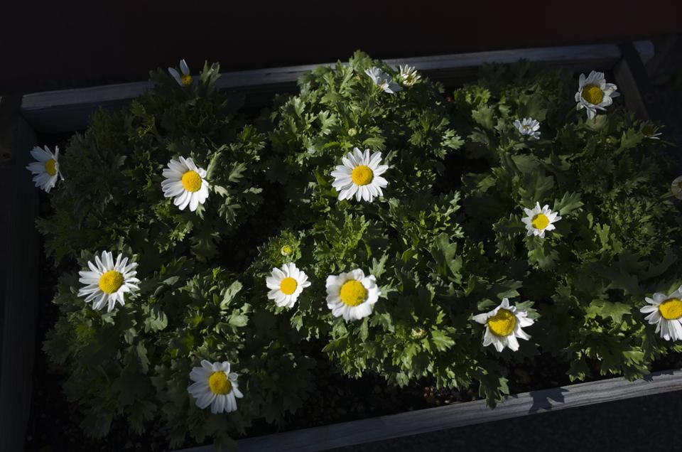 光が当たった白い花