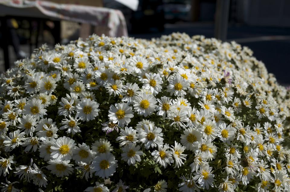 白い花の塊