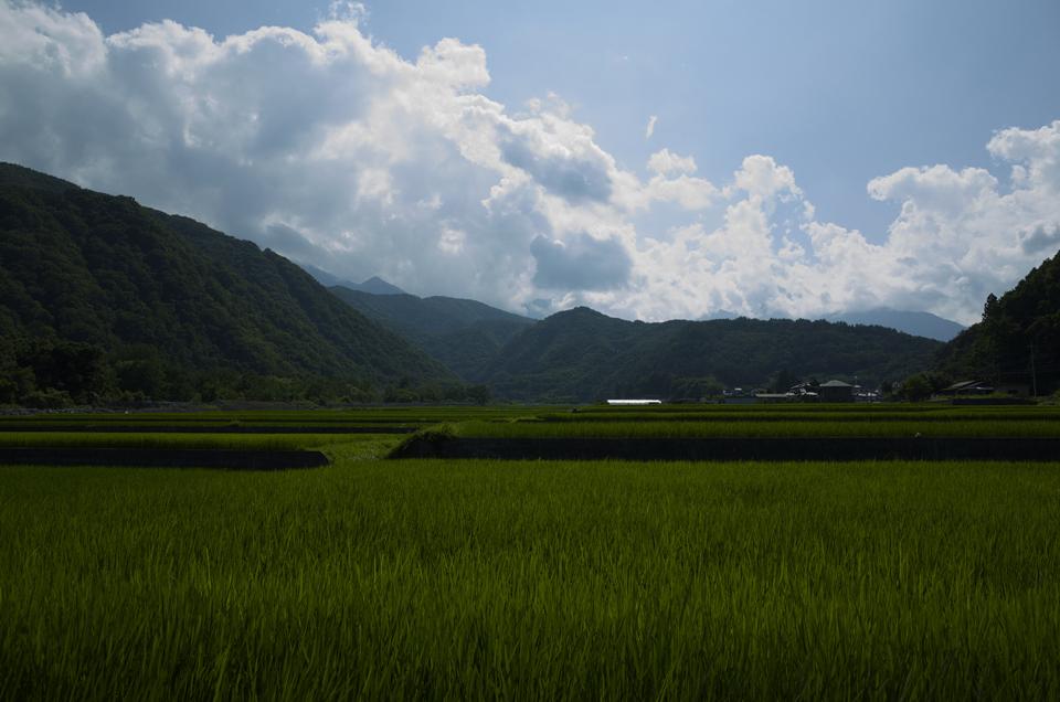 夏の田んぼの風景