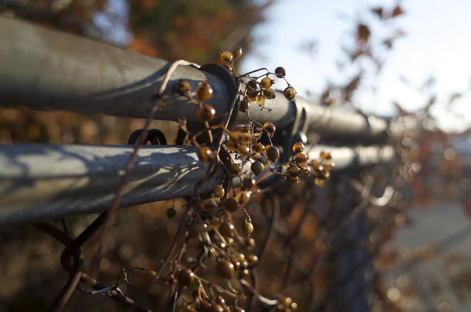 フェンスに絡まった植物
