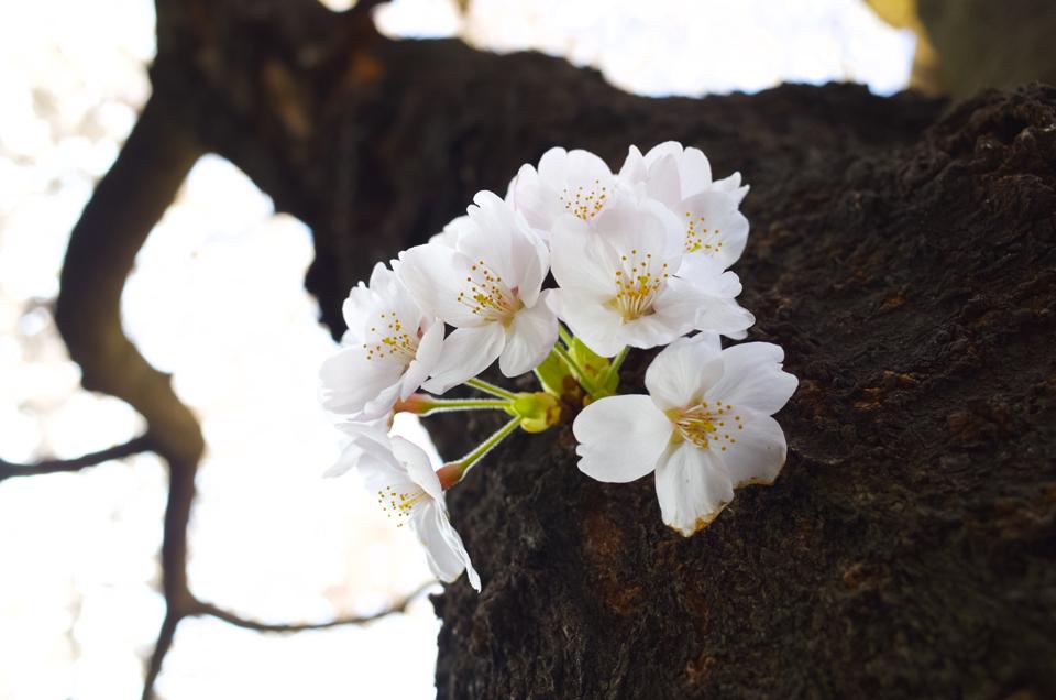 樹の幹に生えた桜