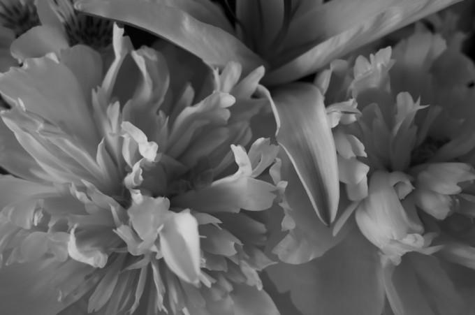 白黒の白い花