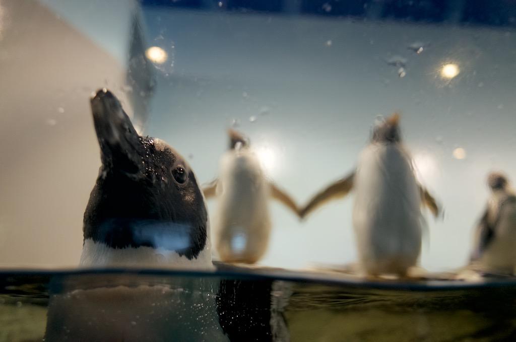 品川アクアパークのペンギン