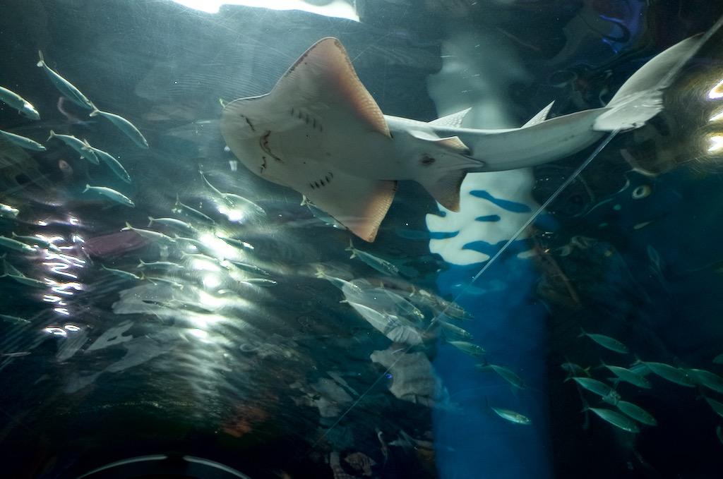 ガラス張りのトンネルの真上を泳ぐ巨大なエイ